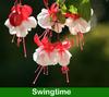 Fuchsia Hanging Baskets